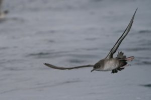Grauwe pijlstormvogel