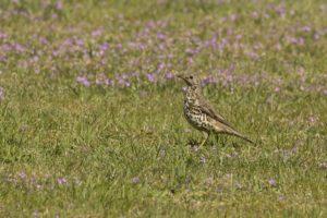 Grote lijster vogelrijk Zuid-Limburg