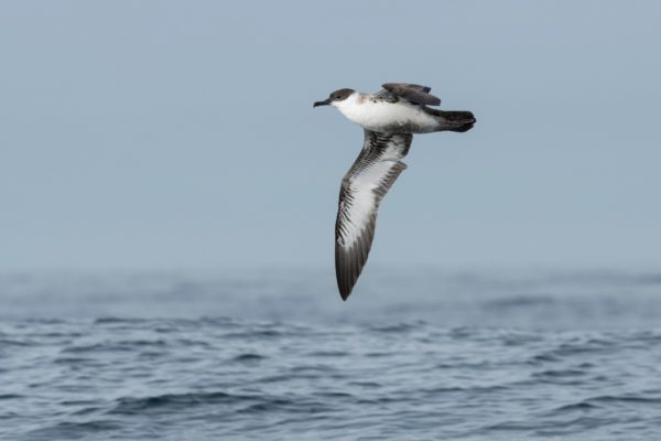 Grote pijlstormvogel zee-vogelen in Noordwest Spanje