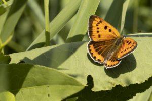 Grote Vuurvlinder varen en ontdekken in de Weerribben-Wieden