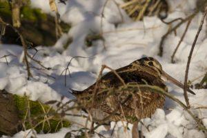 Houtsnip in de sneeuw
