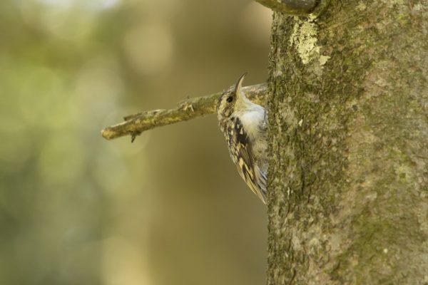 Kortsnavelboomkruiper vogelrijk Zuid-Limburg