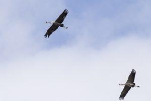 Kraanvogels overvliegend