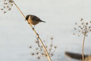 Roodborsttapuit natuurexcursie op Goerree winter