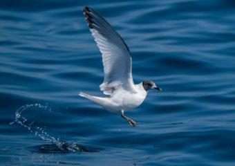Vorkstaartmeeuw zee-vogelen in Noordwest Spanje