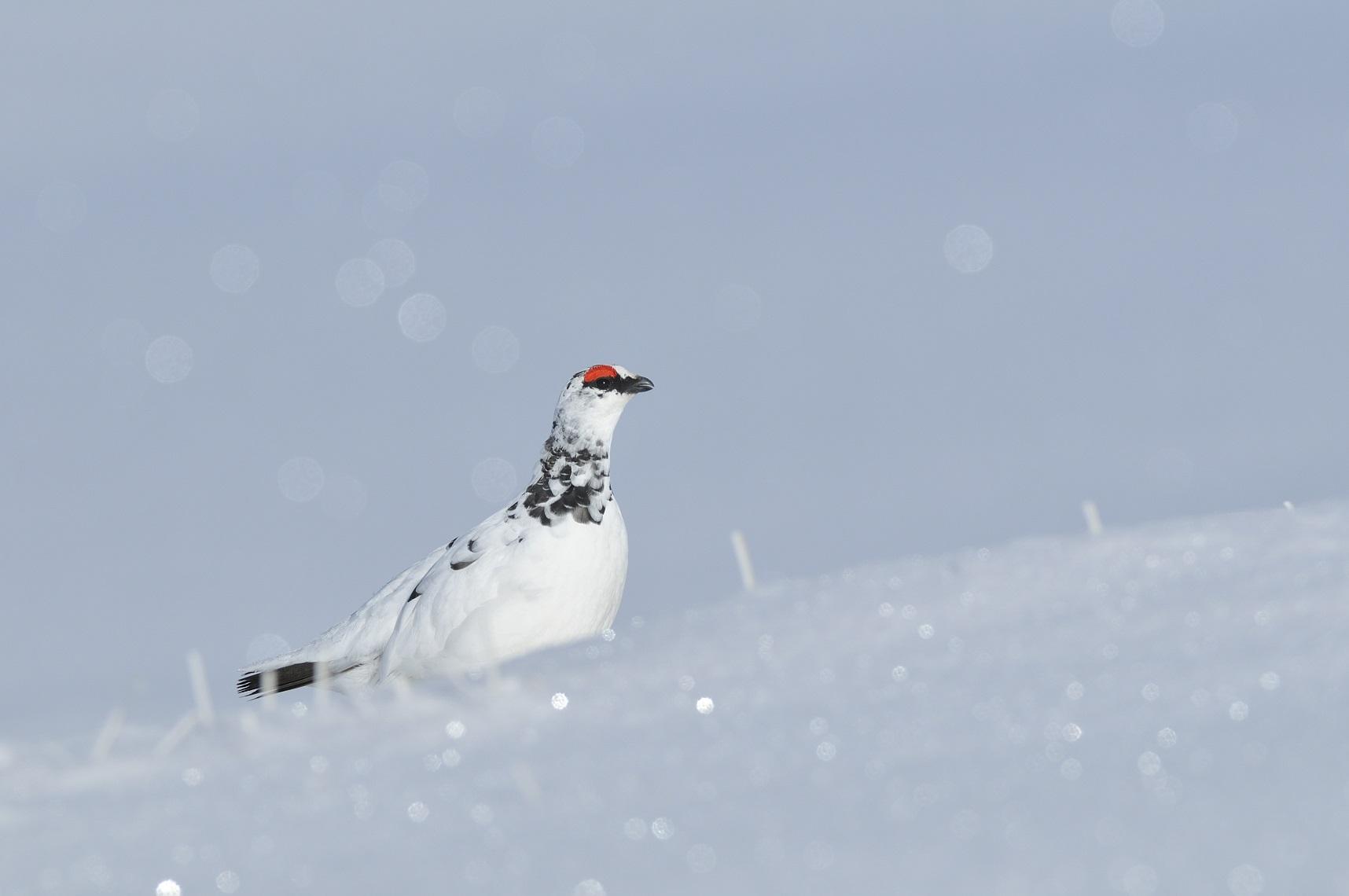 Alpensneeuwhoen man in de sneeuw