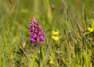 Brede Orchis natuurwandeling in Drenthe