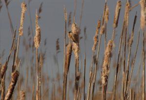 Buidelmees vogelen langs de Oder en in Westhavelland