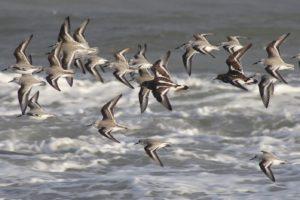 drieteenstrandlopers en steenlopers in vlucht natuurexcursie op Goeree winter