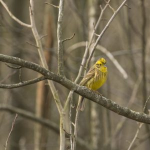 Geelgors vogelrijk zuid Limburg