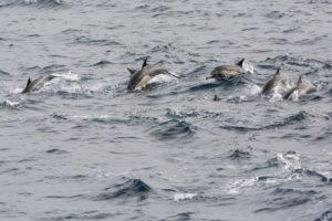 Gewone dolfijnen Zee-vogelen in het zuiden van Ierland