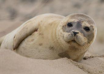 Gewone zeehond natuurexcursie op Goeree winter