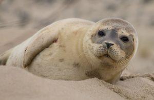 gewone zeehond op het strand, Helgoland