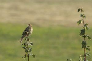 Grauwe gors vogelen langs de Oder en in Westhavelland