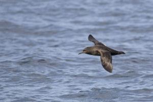 Grauwe Pijlstormvogel zee-vogelen