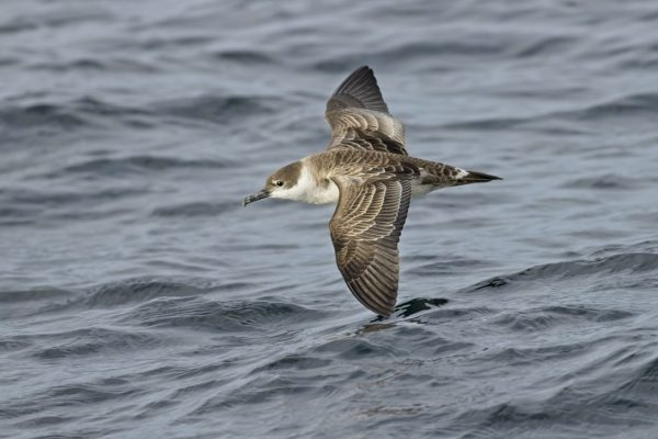 Grote Pijlstormvogel zee-voegelen in noordwest Spanje