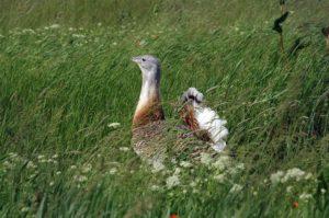 Grote trap vogelen langs de Oder en in Westhavelland