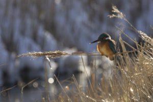 ijsvogel in een winterse setting