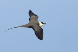 Kleinste Jager Zee-vogelen in Noordwest Spanje