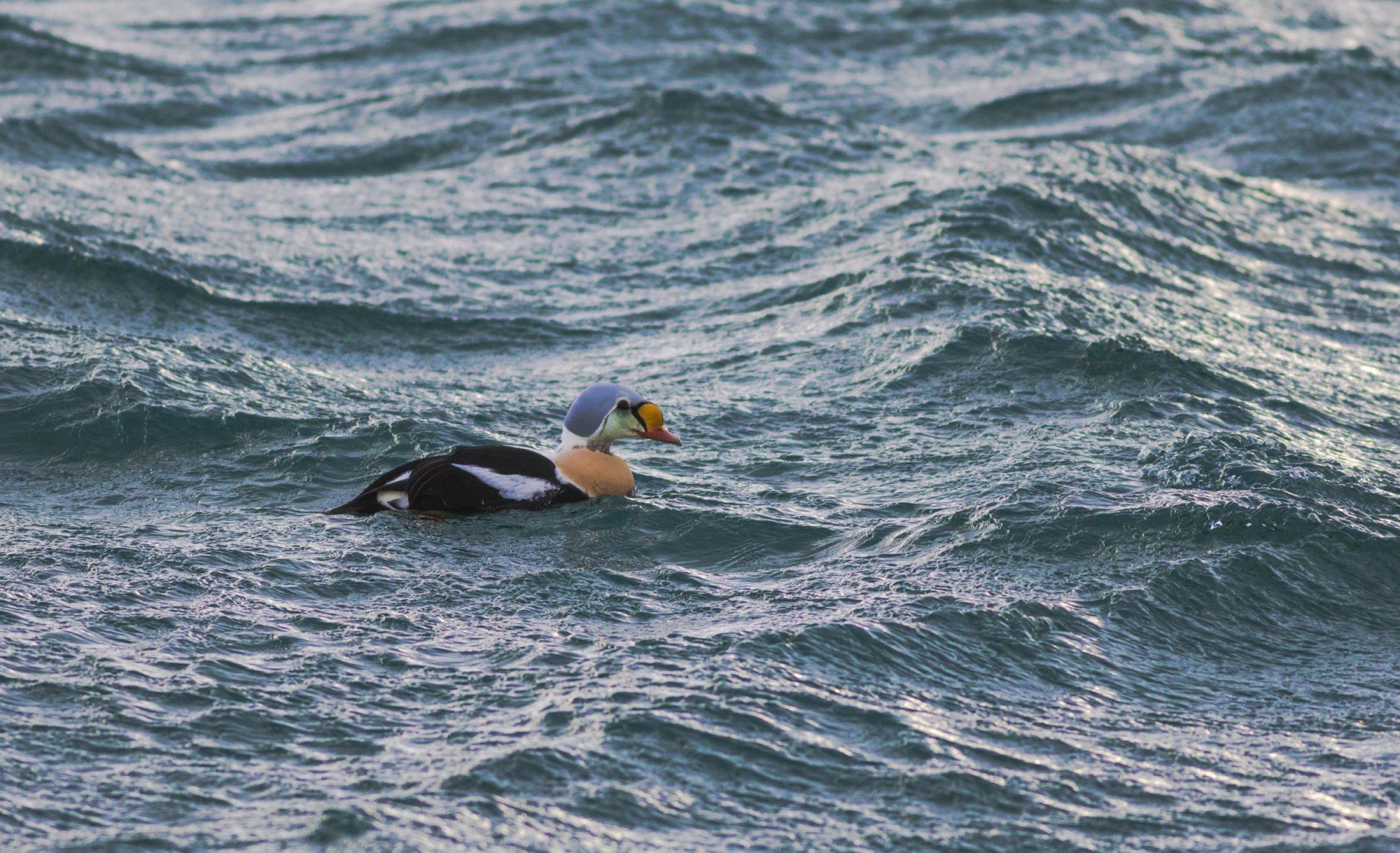 Koningseider, Noorderlicht en vogels in Varanger