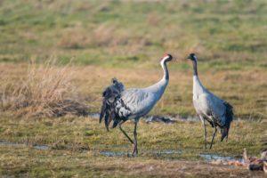 Kraanvogels Natuurwandeling in Drenthe