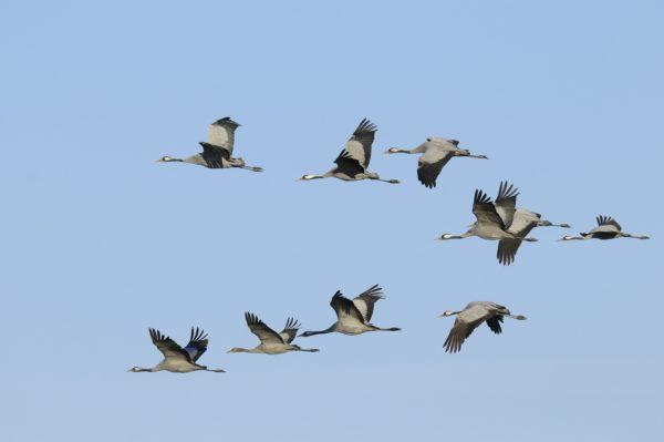 Kraanvogels vogelen langs de Oderdelta en in Westhavelland
