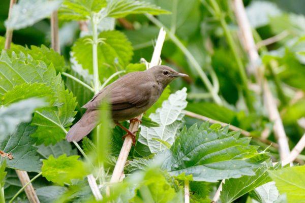 Krekelzanger vogelen langs de Oderdelta en in Westhavelland