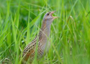 Kwartelkoning vogelen langs de Oder en in Westhavelland