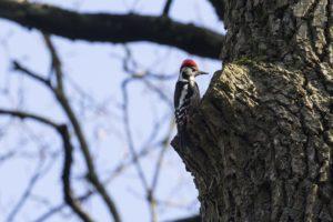 Middelste bonte specht vogelrijk Zuid-Limburg