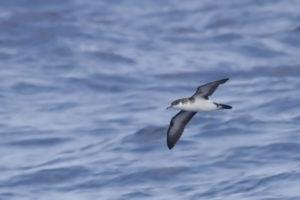 Noordse Pijlstormvogel Zee-vogelen in Noordwest Spanje