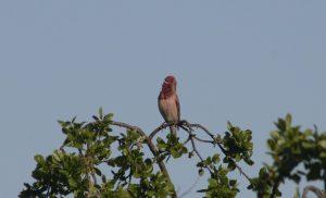 Roodmus vogelen langs de Oder en in Westhavelland