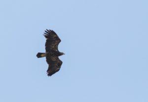 Schreeuwarend vogelen langs de Oder en in Westhavelland