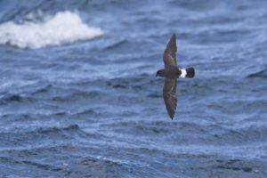 Stormvogeltje zee-vogelen