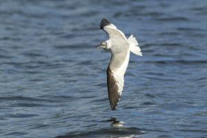 Vorkstaartmeeuw vliegend over zee