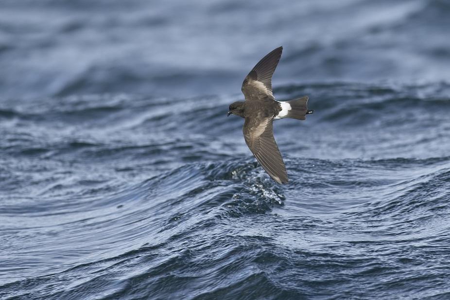 Wilson's stormvogeltje Vogelen in Zuid-Ierland