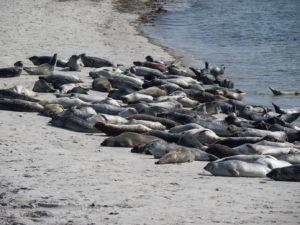 Zeehonden kolonie op Dune Helgoland