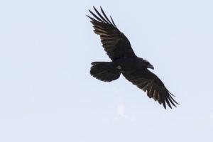 Raaf, Kraanvogels in Hongarije