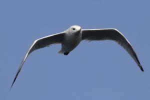 Adouins meeuw aanvliegend op Mallorca