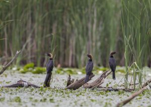 Dwergaalscholvers Kraanvogels in Hongarije