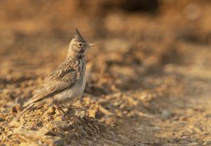 Kuifleeuwerik, Kraanvogels in Hongarije