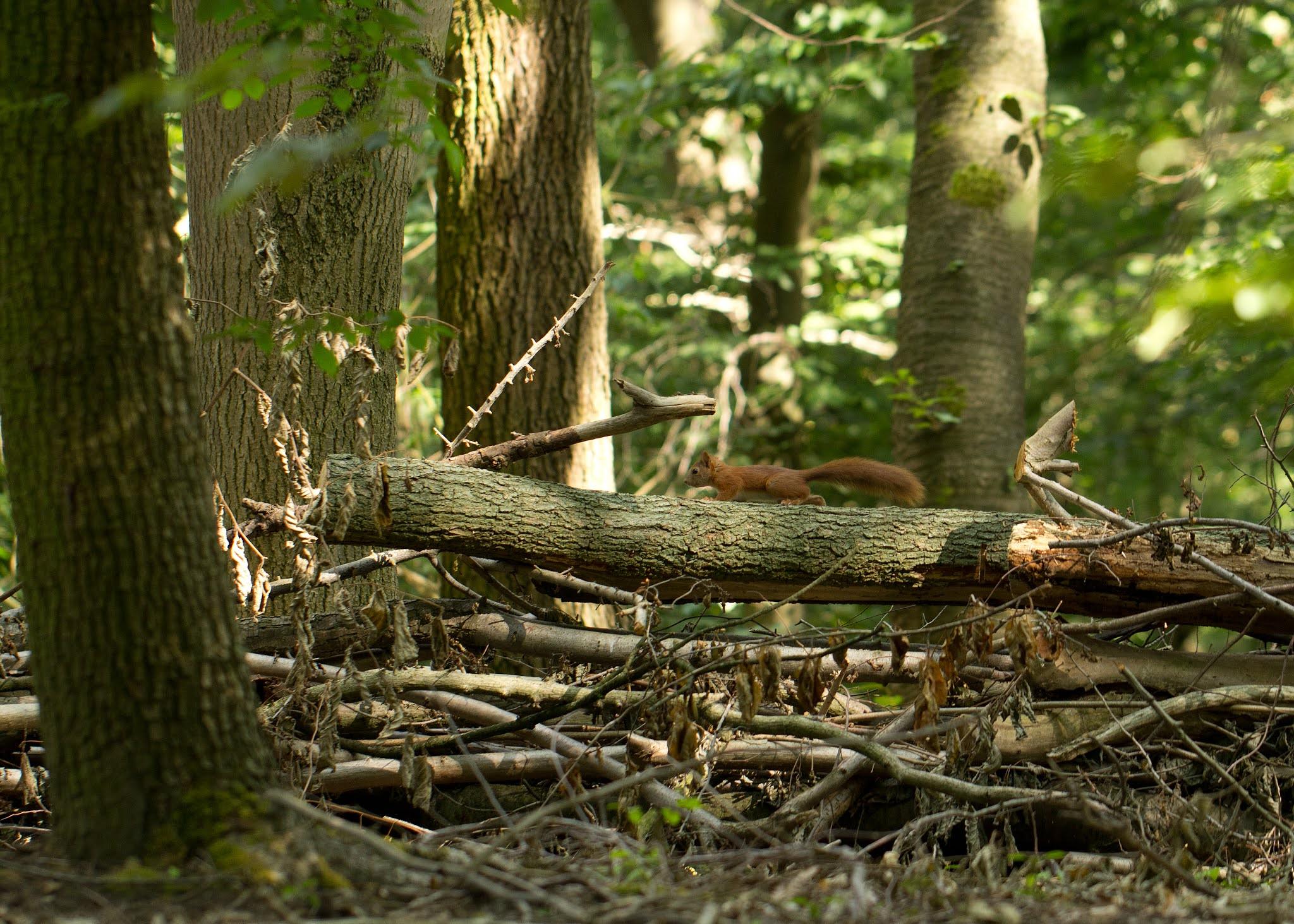 Eekhoorn, Natuurbehoud