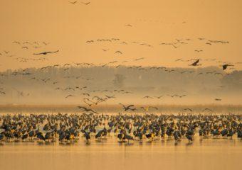 Kraanvogel Kraanvogels in Hongarije