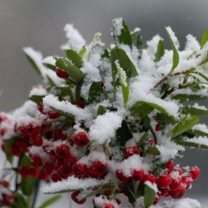 Bessen met sneeuw, cadeaubon, kerst