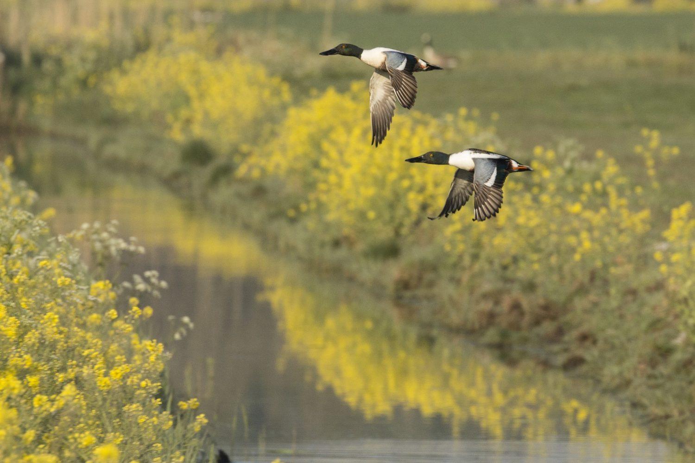 Slobeenden, weidevogel fietstour polder Biert