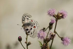 Apollovlinder natuurreis Beierse Alpen