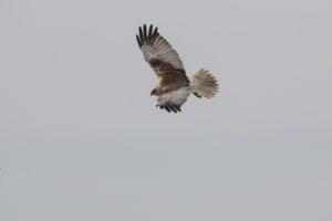 Bruine kiekendief weidevogelfietstour polder Biert