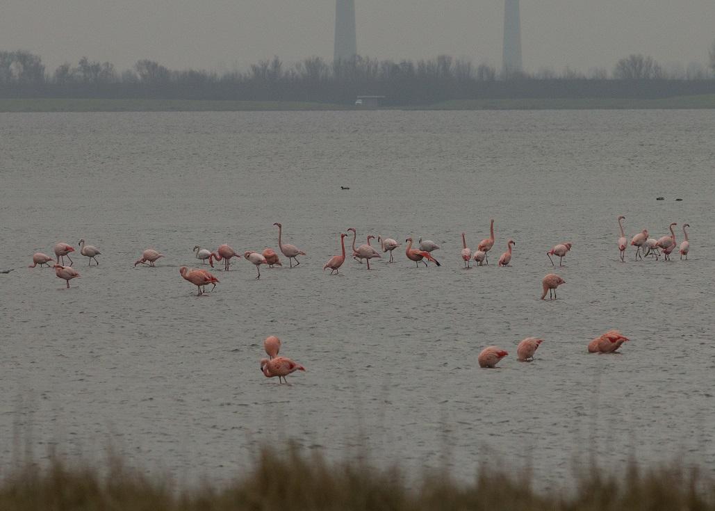 Flamingo's blogbericht Buizerd is bijna het haasje