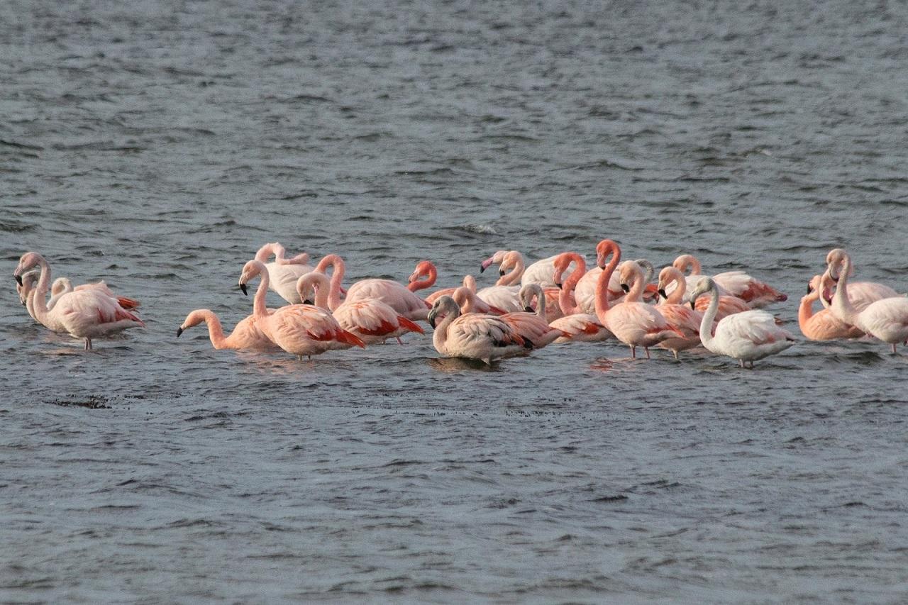 Flamingo's, blog jagende Zeearenden