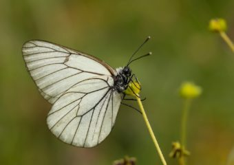 Groot geaderd witje natuurreis Beierse Alpen