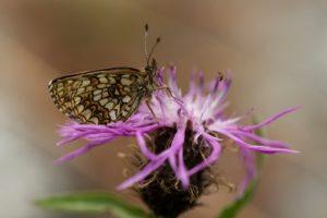 Woudparelmoervlinder natuurreis Beierse Alpen